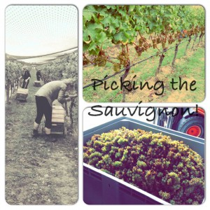 picking the sauvignon blanc